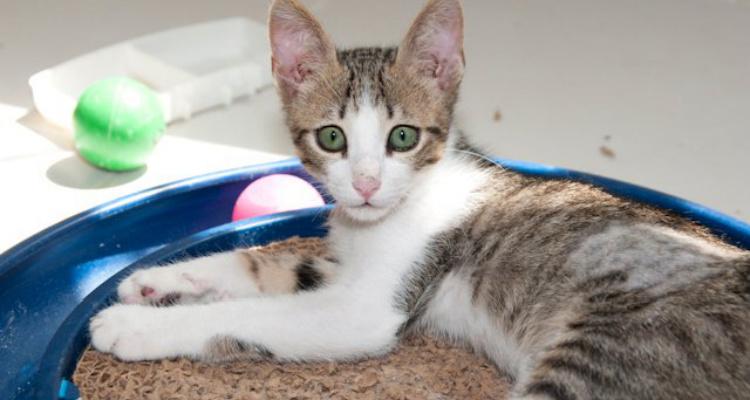 adopt-a-cat-kitten-sh-21