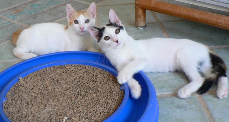 adopt-a-cat-kitten-sh-41