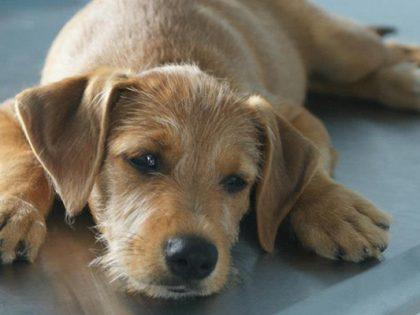 Apoyo Perro de Rescate