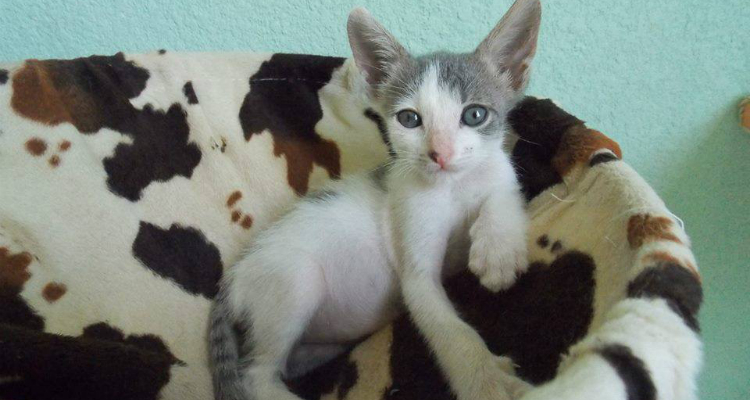 adopt-a-cat-kitten-sh-7